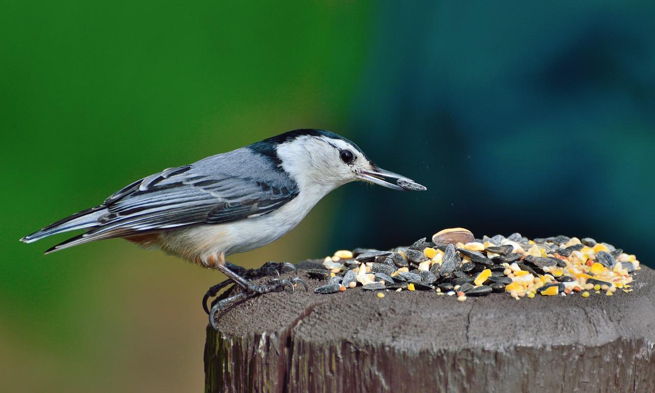 A garden bird feeding on fruit and nuts.
