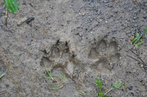 Paw print in mud.