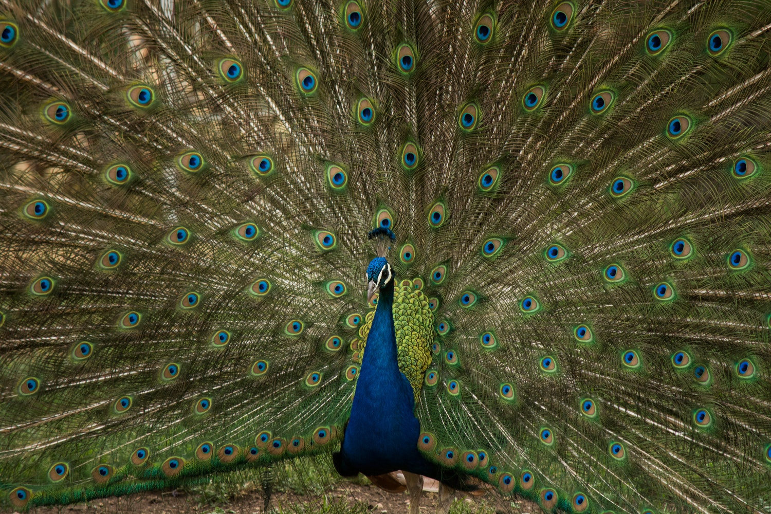 Peacock displaying its train feathers to attract a mate