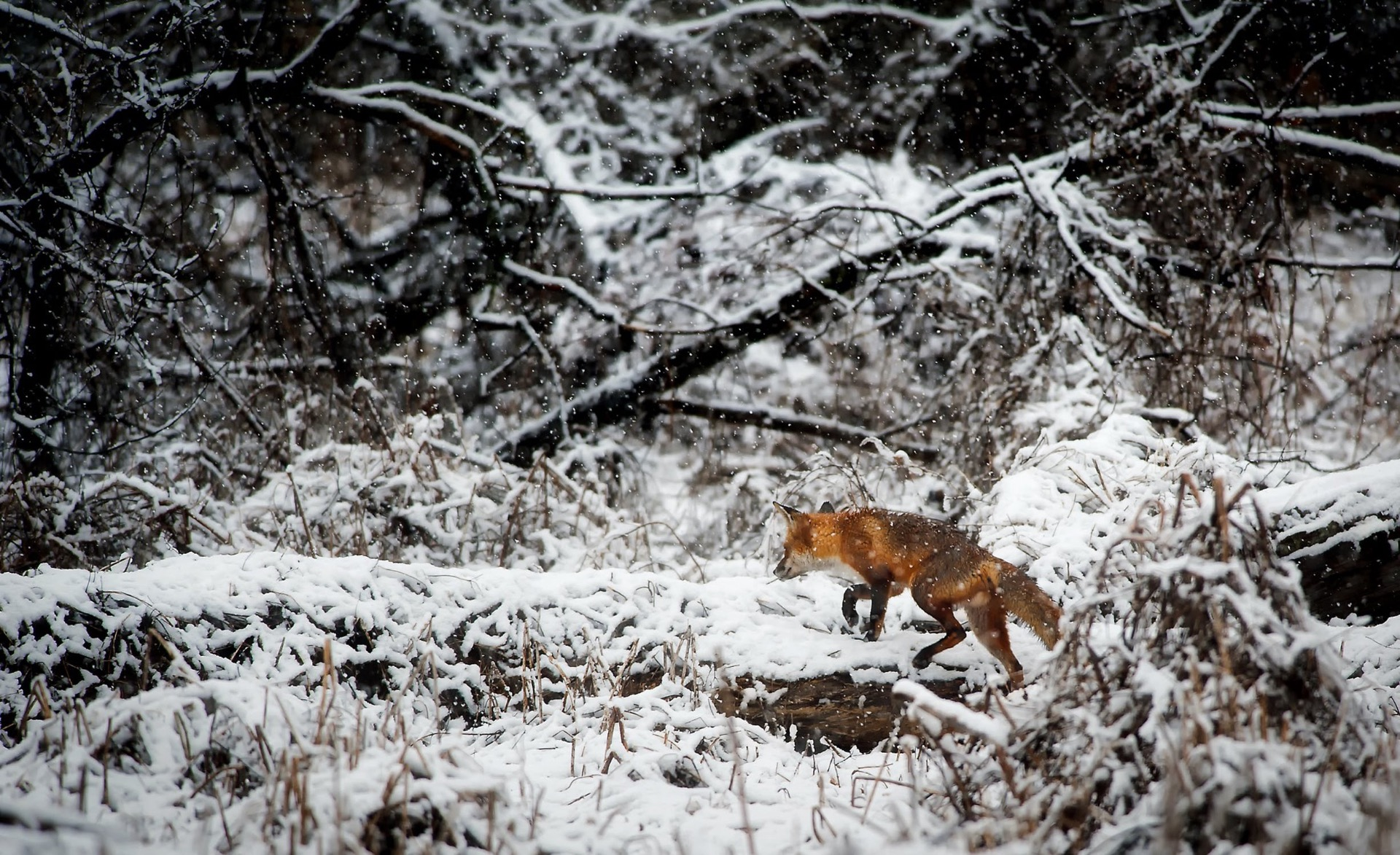 A fox hunting in the snow in winter