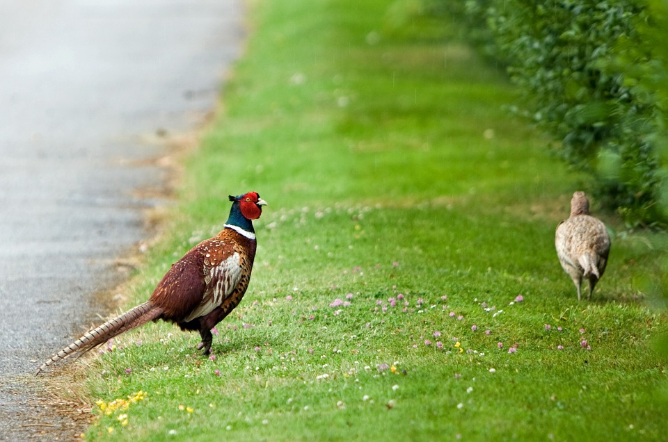Male and female pheasant on grass