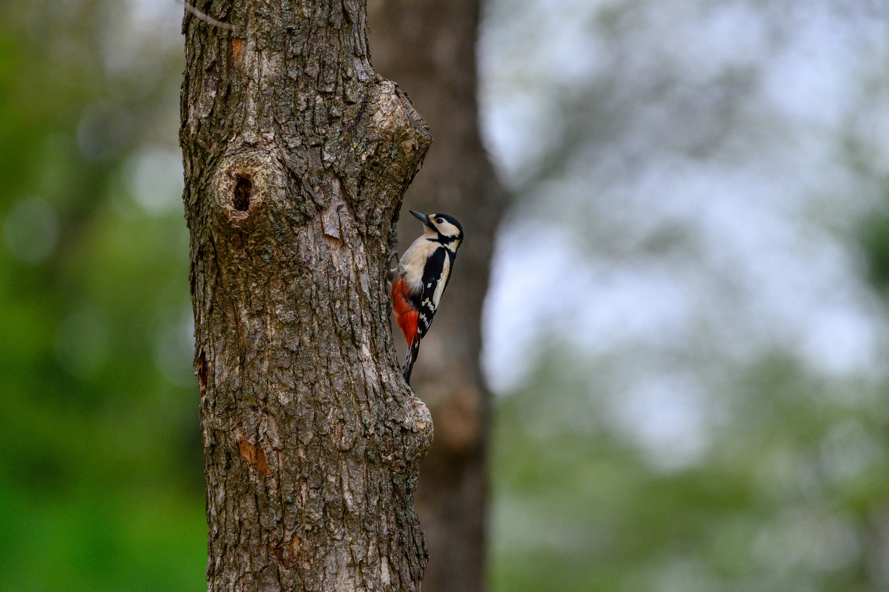 Woodpecker bird black white and red perched on a tree