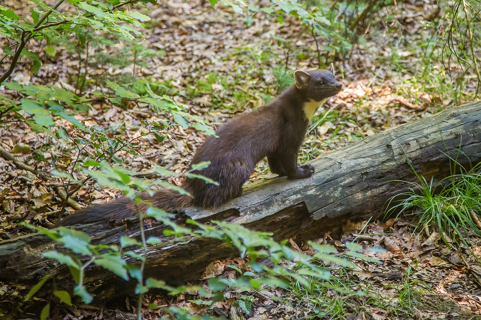 Pine marten on a log in a wooded area