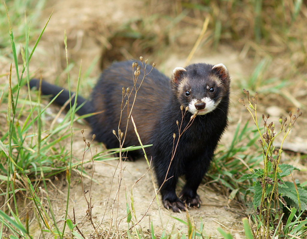 A female polecat