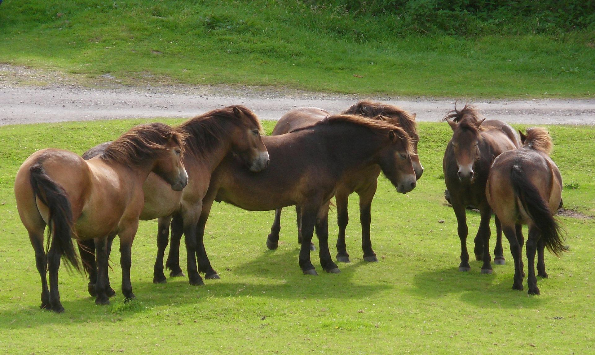 a group of brown exmoor ponies