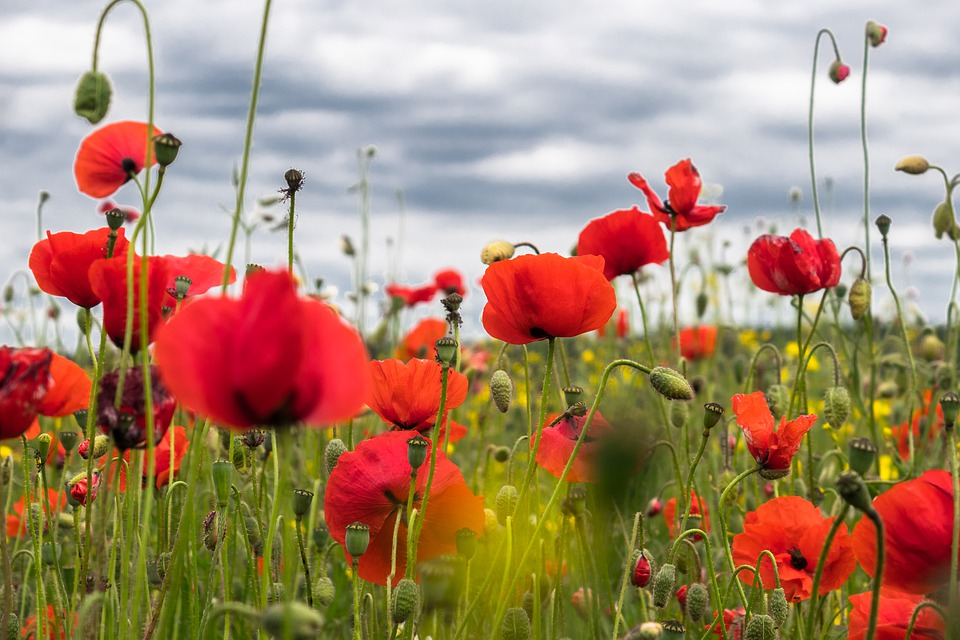 Field full of red poppies