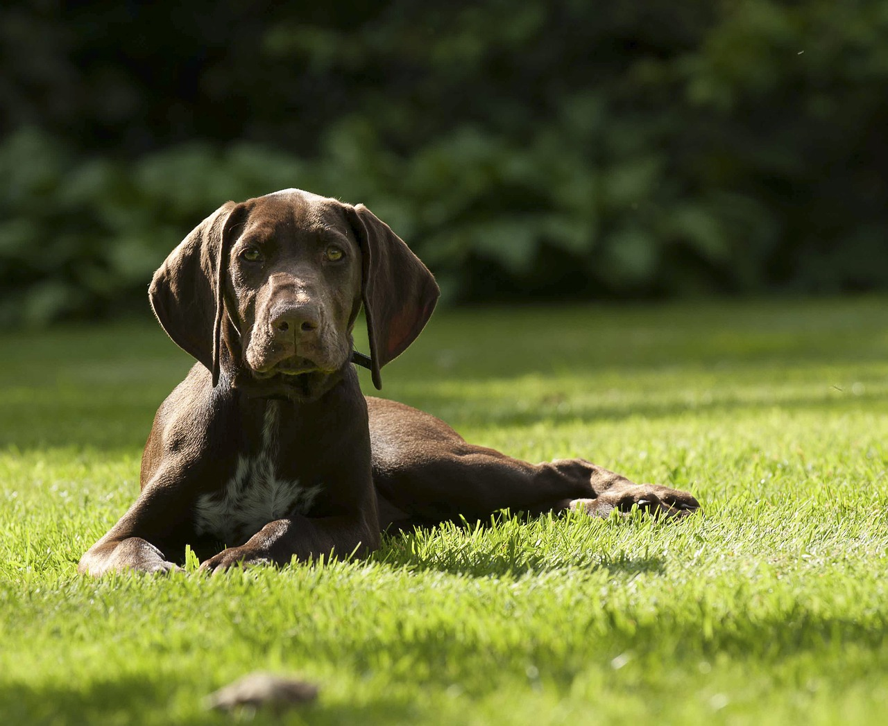 A brown German Shorthaired Pointer lying down in grass.