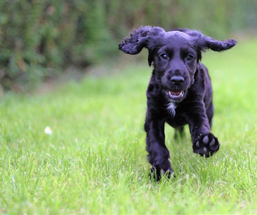 Puppy running over grass