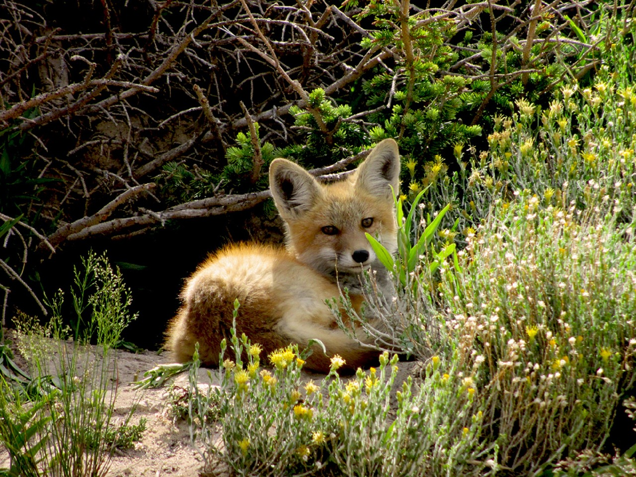 a small red fox in the woods