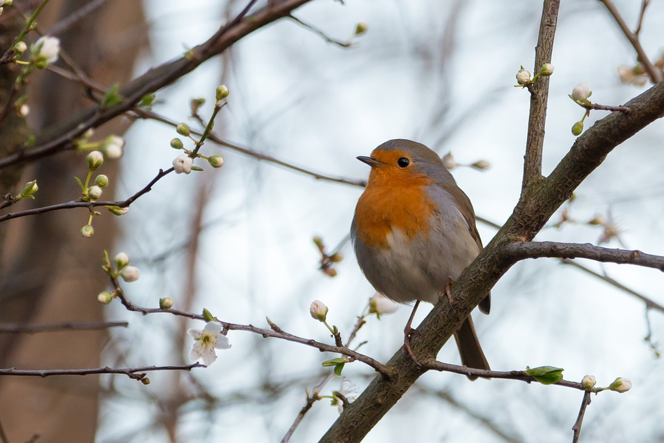 A robin sitting on a tree in winter