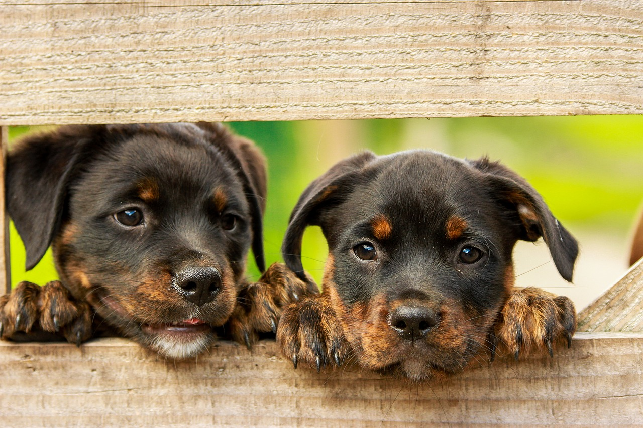 Two young black and brown puppies jumping up behind a wooden gate.