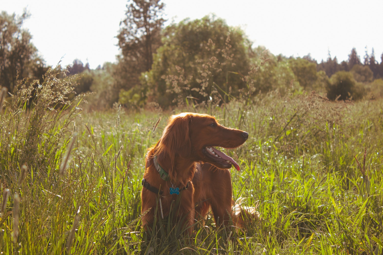 Setter standing in a field