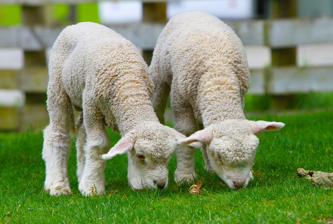 Two baby lambs grazing on some grass in a field.