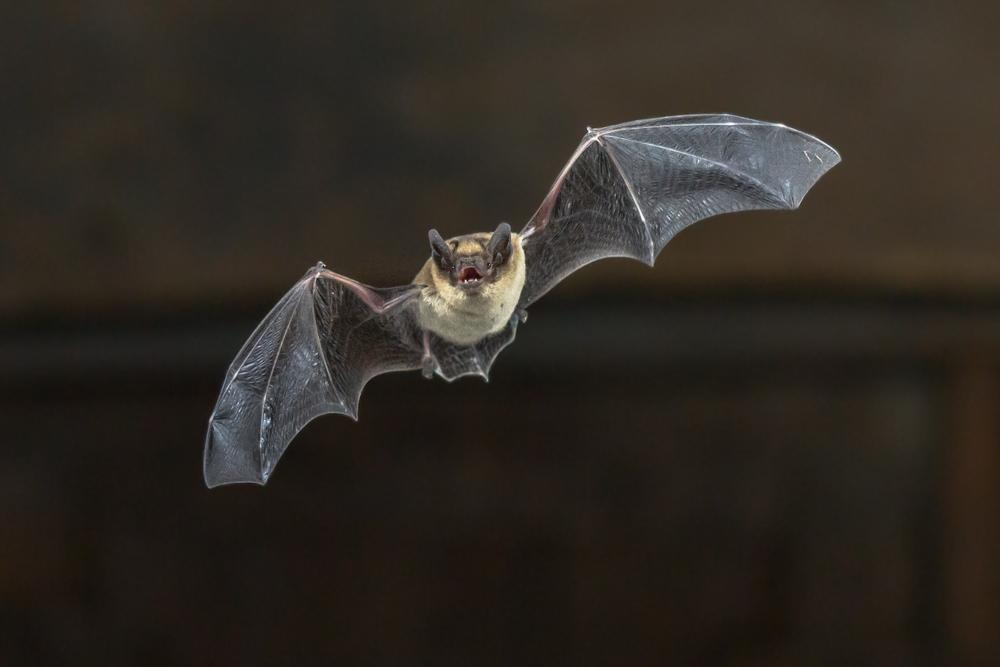 Flying bat in night sky