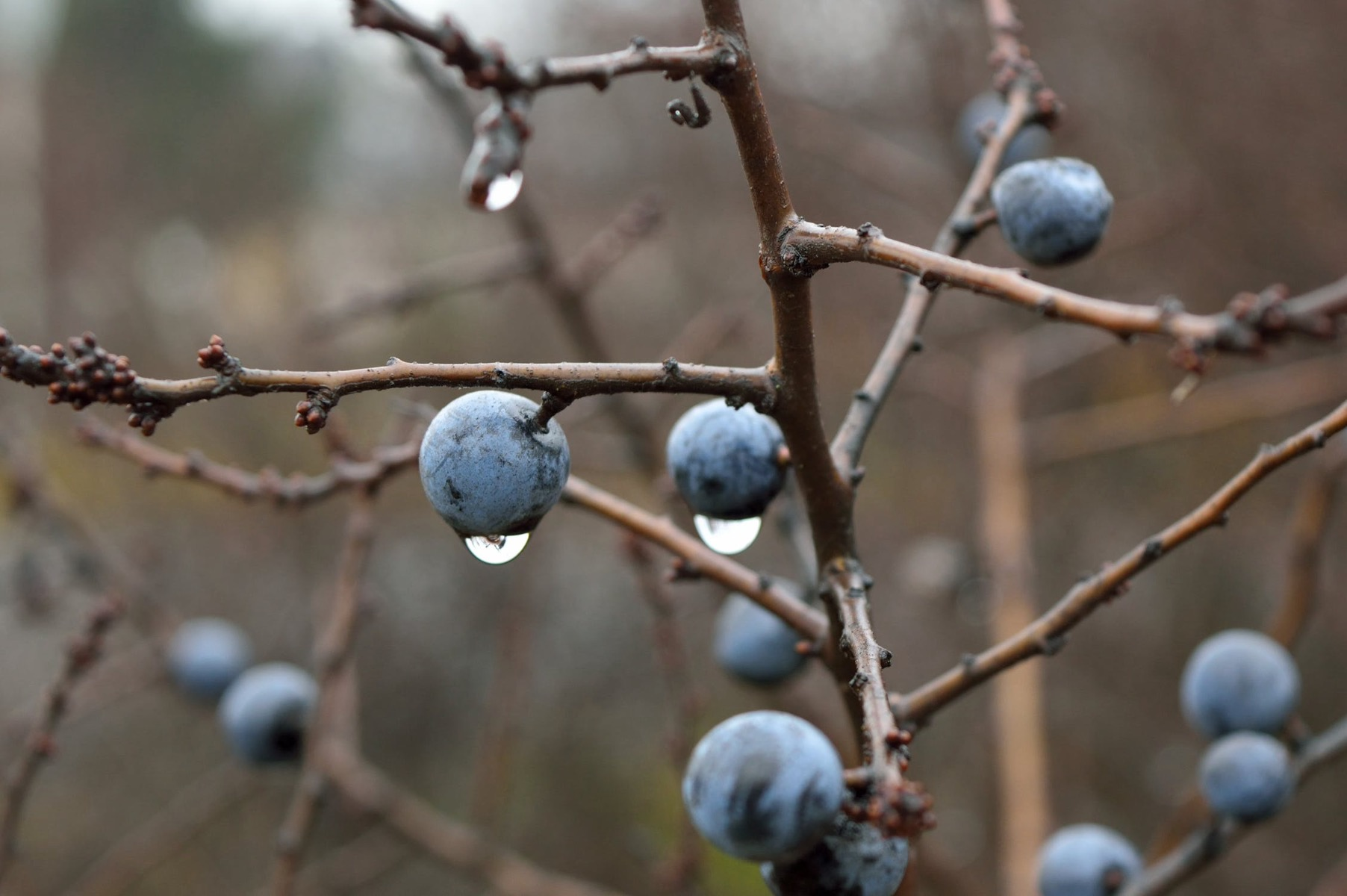 A selection of blue sloes on a leafless branch