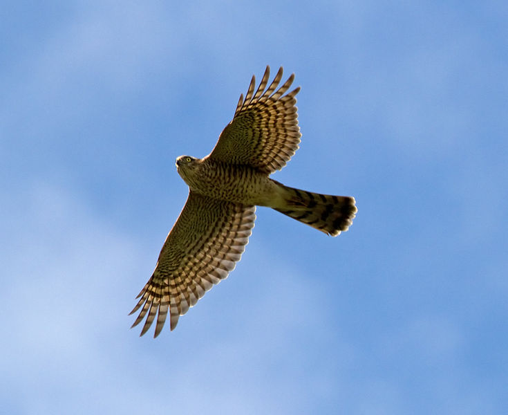 Use birdwatching binoculars when looking for sparrowhawks