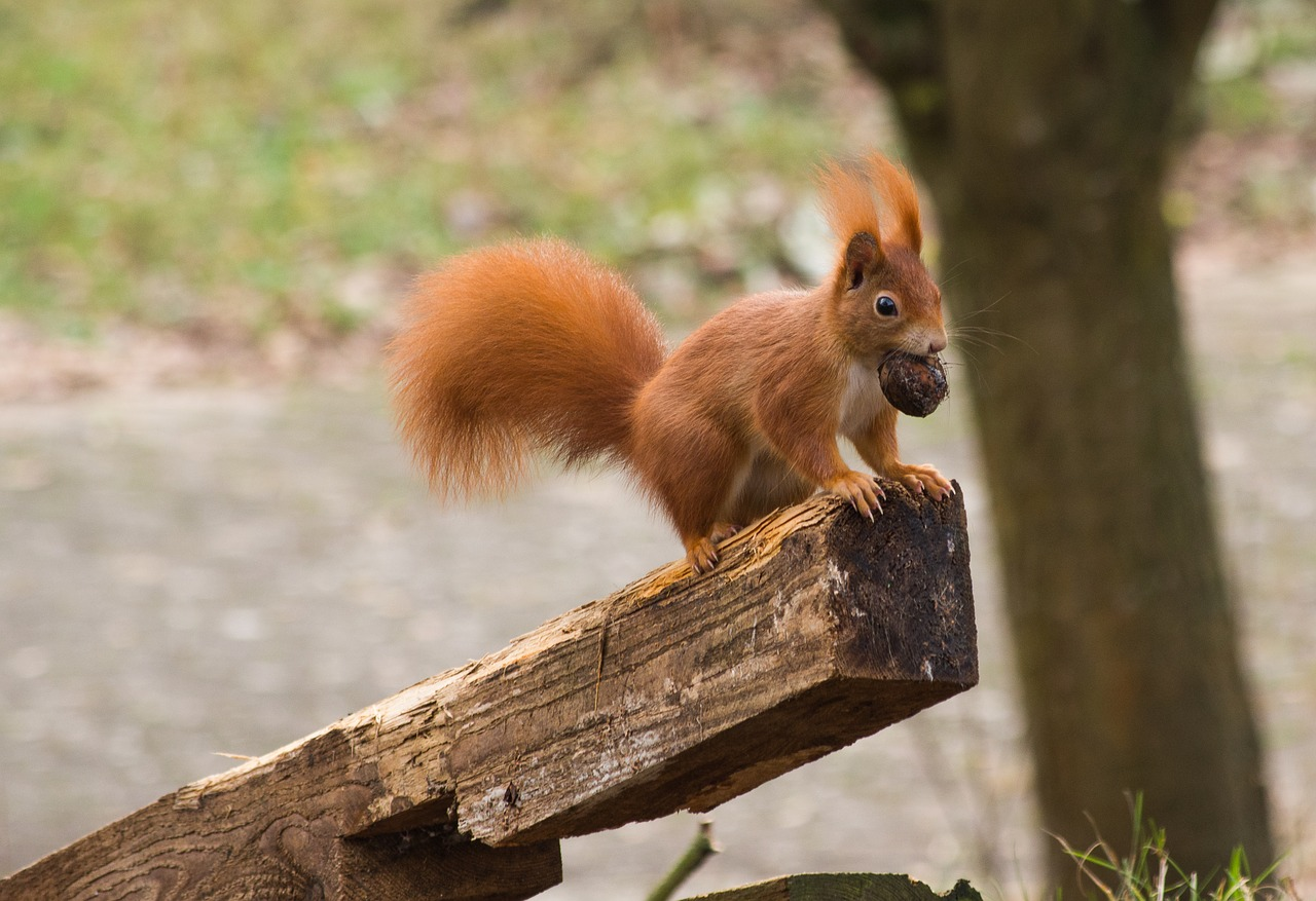 A red squirrel standing on a wooden post and clutching a nut in its mouth.