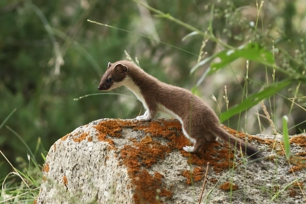 A stoat standing on a rock