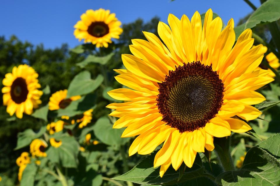 Sunflower in Britain