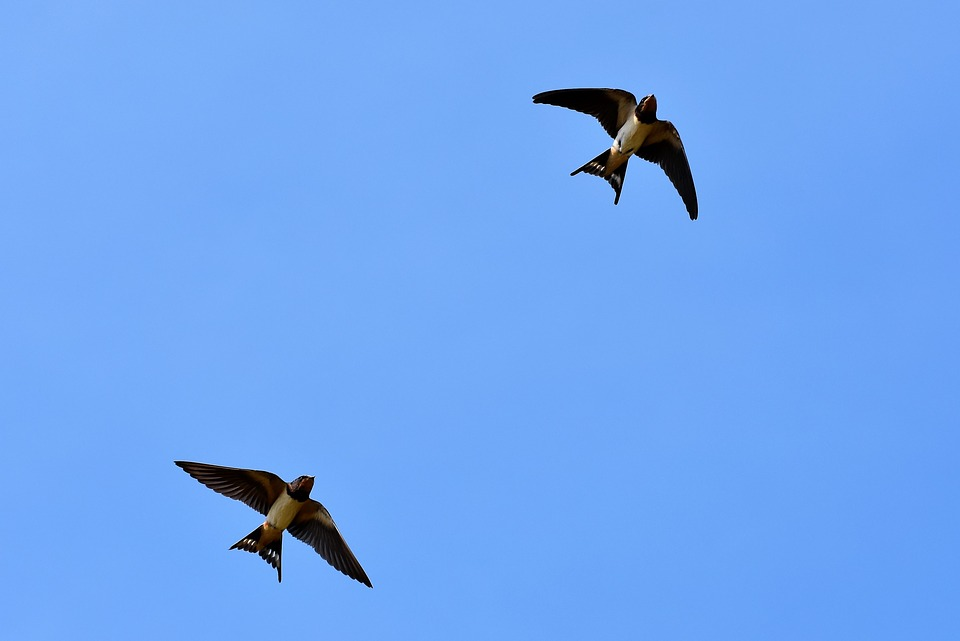 A pair of swallows starting their migration