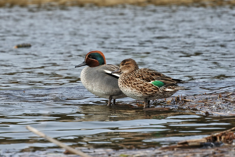 Male and female teal stood at edge of water