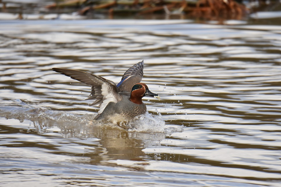 Male Eurasian teal flying out of water