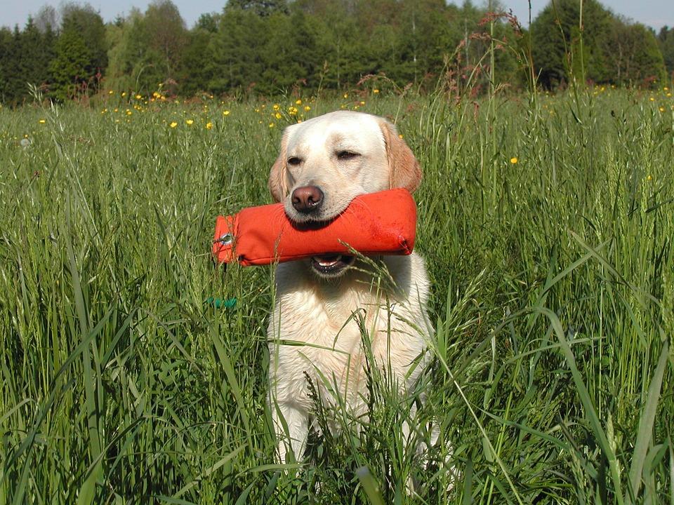Labrador retriever with dummy