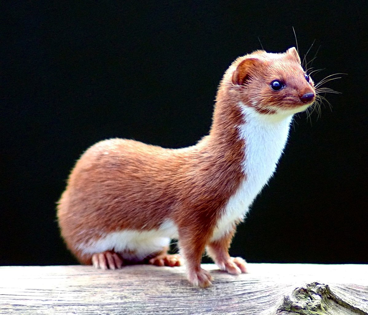 A weasel or least weasel standing on a log
