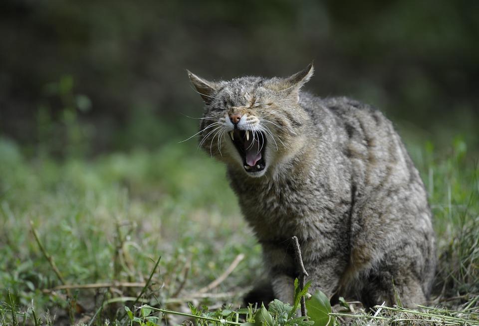 A wildcat yowling