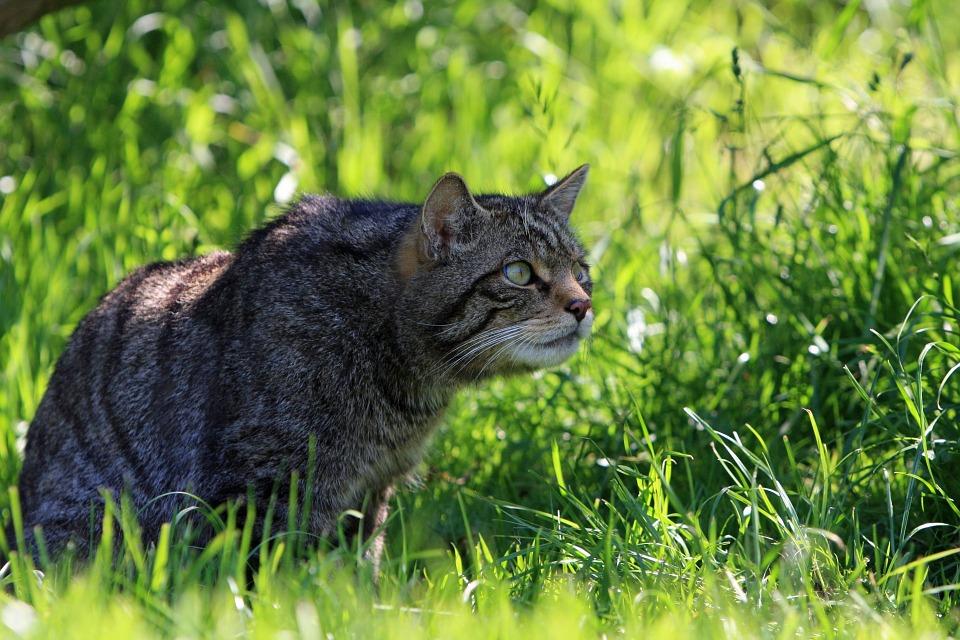 Scottish wildcat crouching in grass
